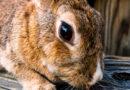 Groeien de tanden van konijnen altijd door?